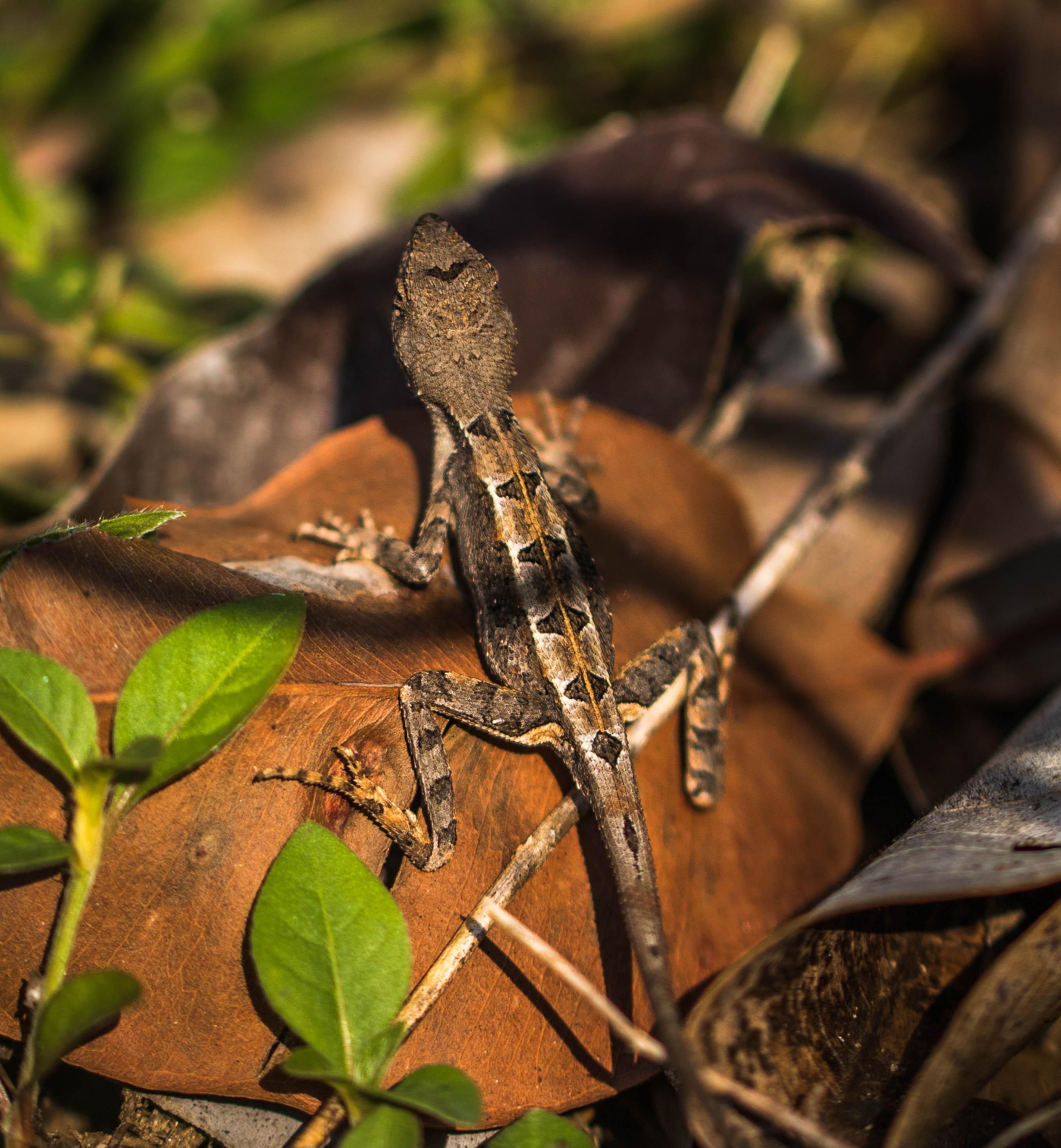 Fan-throated Lizard back (1 of 1)